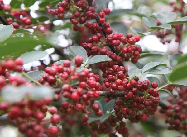 供应山西优质花椒苗繁育方法 低价格山西花椒苗批发