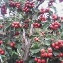 供应各种占地3至6公分桃树 山楂树 山杏树等大量果树苗