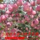 长短枝富士苹果苗秦冠苹果苗图片