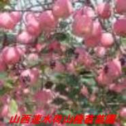烟富苹果苗图片