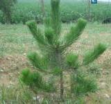 供应山西白皮松种植  10公分至2米的白皮松价格