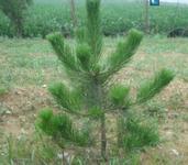 山西白皮松种植1至5年的白皮松价格图片