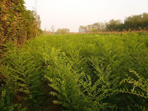 供应皂角苗 当年皂角苗 绿化皂角苗 皂角苗种子