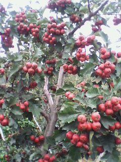 供应3至15公分桃树 山楂树 苹果树