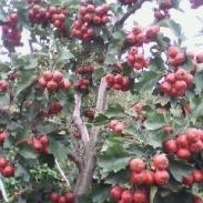 多规格山楂树桃树山杏树图片
