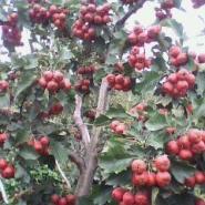 2至15公分山楂树苹果树图片