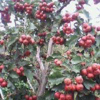 供应多规格山楂树桃树山杏树苹果树