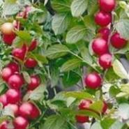 山西钙果苗产地价格图片
