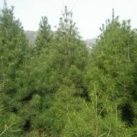 供应1米 2米多规格白皮松绿化苗 山西营养杯白皮松