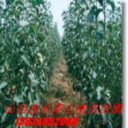 八棱海棠种子图片