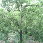 占地山杏树成品山杏苗图片