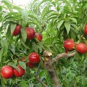 1至10公分桃树当年桃树苗图片