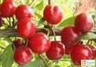 首红苹果苗图片