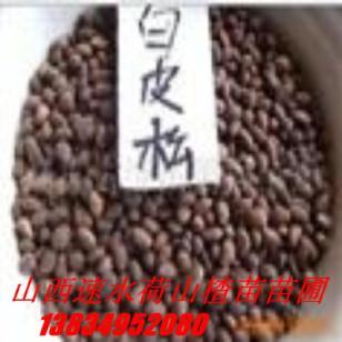 山西皂角苗种子大皂角种子图片