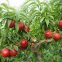 4至8公分桃树苗占地苹果树图片