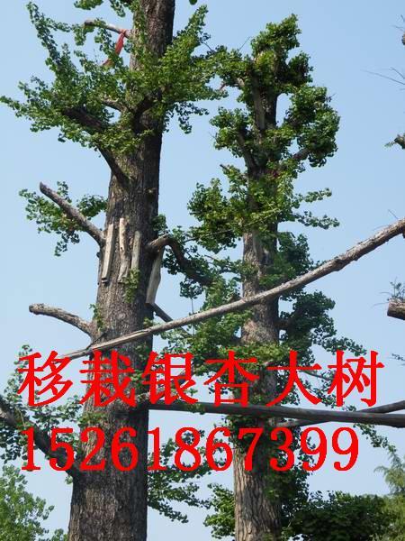供应银杏树促销价格低