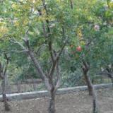 供应果树种植园