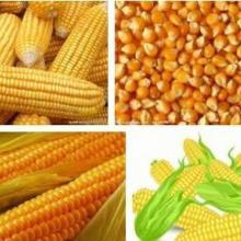 供应山西玉米批发