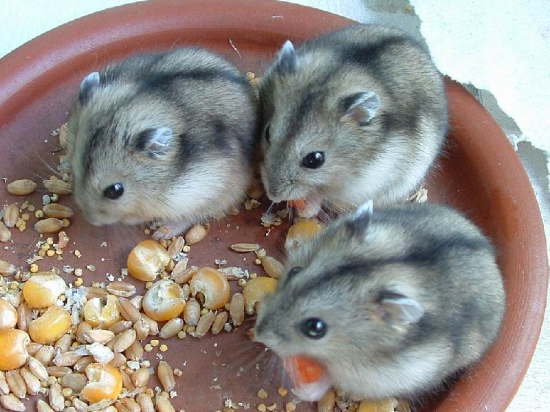 仓鼠在哪买最好 最好养的仓鼠 仓鼠在哪买