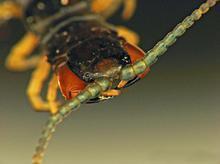 供应蜈蚣活体红头蜈蚣蜈蚣活体批发