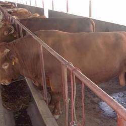 江苏南京养牛场的名称H南京养牛场买牛犊吗