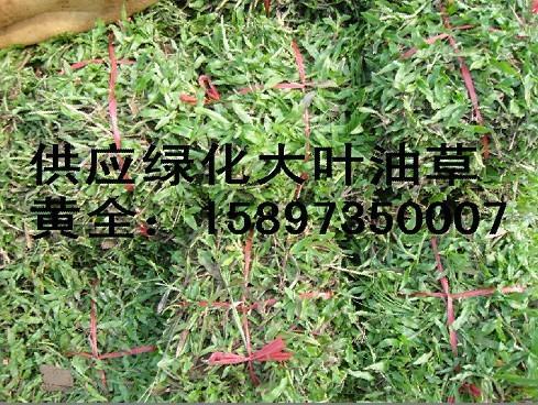 大叶油草图片 大叶油草样板图 大叶油草 专供马尼拉草皮