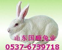 供应如何能养出皮毛好的獭兔