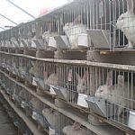 供应獭兔养殖QQ群
