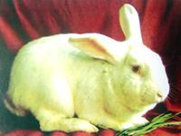 供应肉兔种兔的价格
