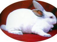 供应獭兔养殖可行性报告批发