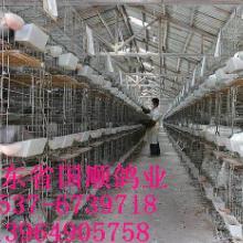 供应肉鸽养殖场批发