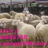 供应肉羊怎样养殖