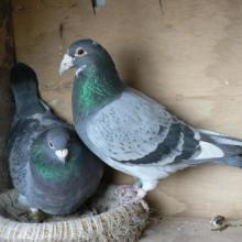 供应肉鸽养殖批发