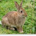 比利时肉兔种兔价格图片