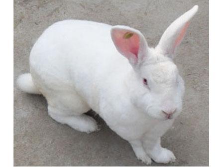 供应山东獭兔价格