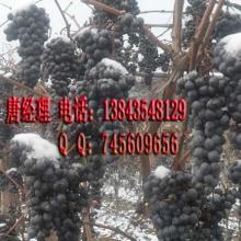 供应北冰红葡萄(酿造北冰红葡萄酒)批发
