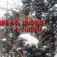 酿酒山葡萄苗图片