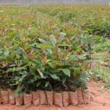 供应桉树价格,桉树最大种植场,桉树树苗