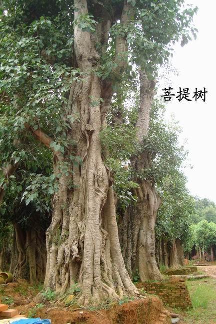 福建 菩提树图片