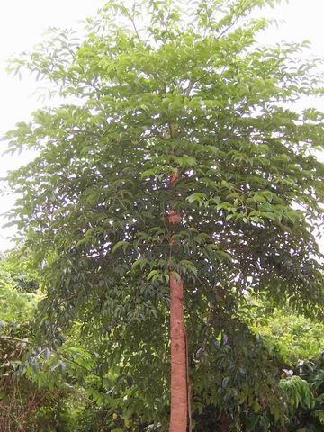 漳州 幸福树