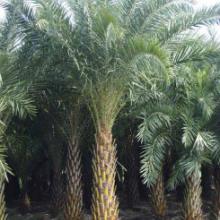 供应湖北绿化苗木