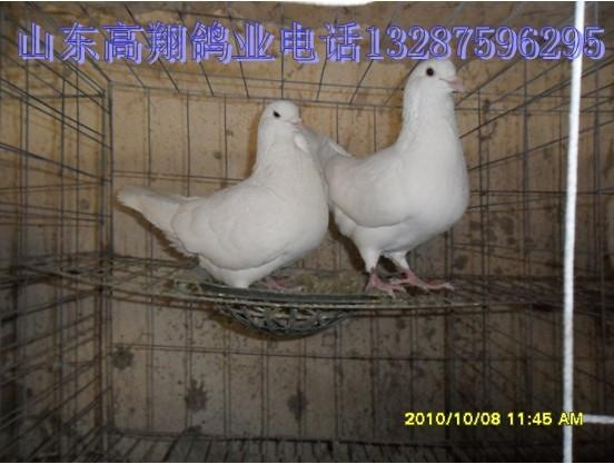 供应黑龙江肉鸽图片