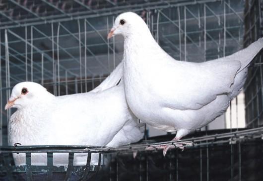 供应沈阳肉鸽养殖场图片