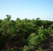 油松苗圃图片