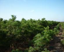 油松苗圃供应1米油松,油松基地,1米油松价格,1米油松批发价格