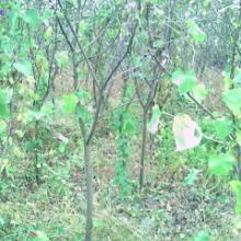 供应3公分苹果树基地,山西3公分苹果树价格,3公分苹果树价格表 3公分苹果树基地报价