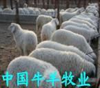 供应小尾寒羊种羊  常年提供小尾寒羊价格 图片