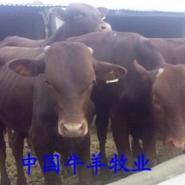 利木赞牛小牛犊纯种鲁西黄牛牛苗图片