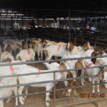 供应中国最大波尔山羊养殖基地宏祥羊场批发