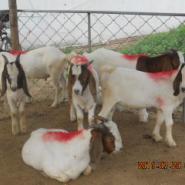 河南有大型小尾寒羊养殖场吗图片
